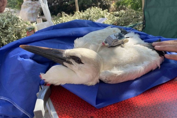 Bursa'da Yaren'in yavrusu Beşnumara yuvadan uçtu
