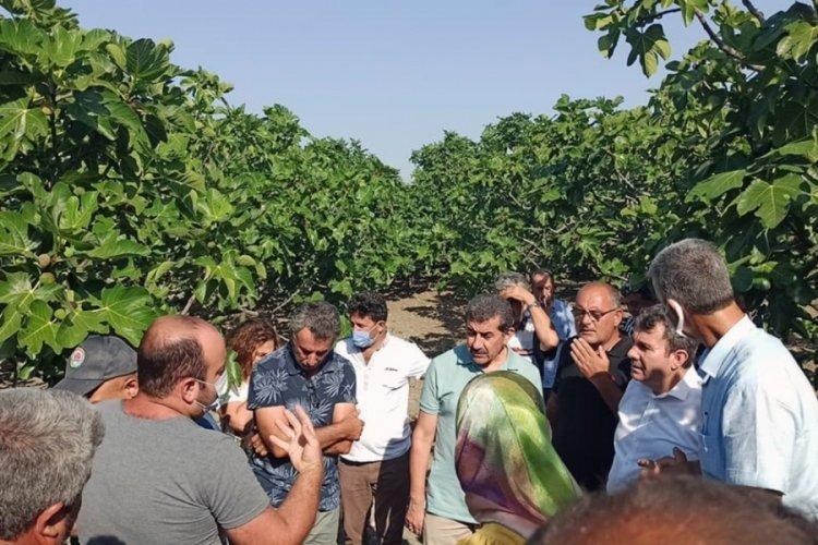 Dalında kuruyup dökülen kara incir için Bursa Mudanya'da araştırma!