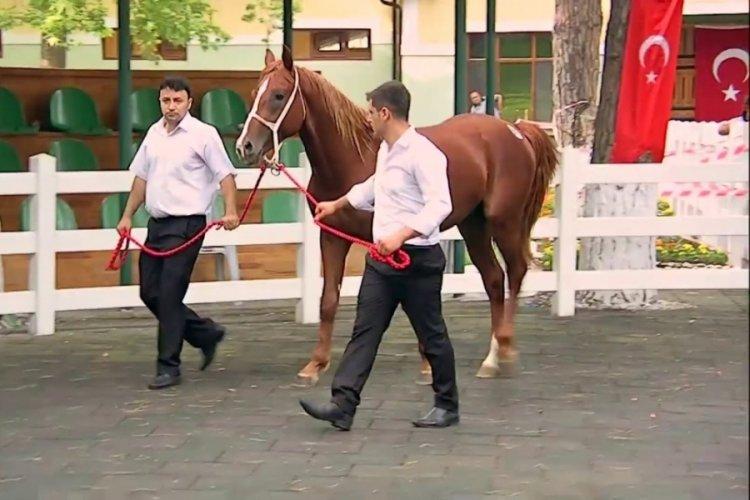 TİGEM Bursa'da 49 safkan Arap koşu tayı satacak