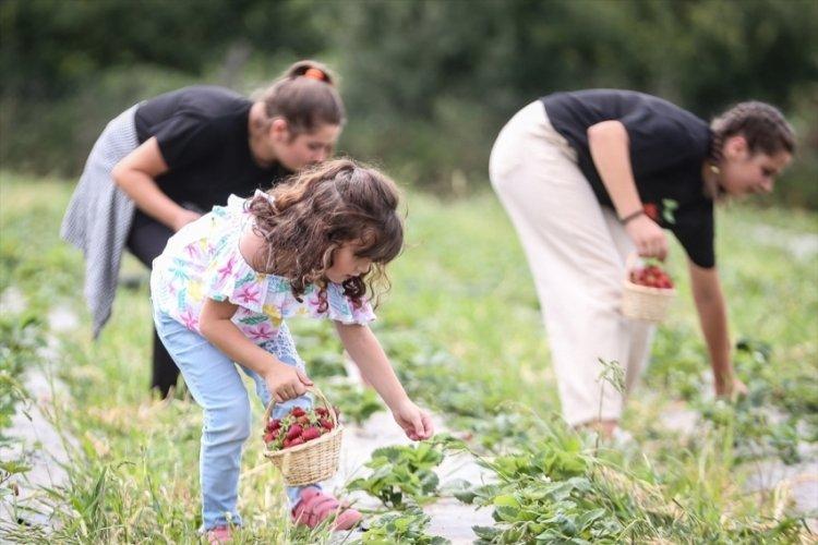 Bursa'da müşterileri dalından çilek yemek isteyince bahçesini işletmeye dönüştürdü