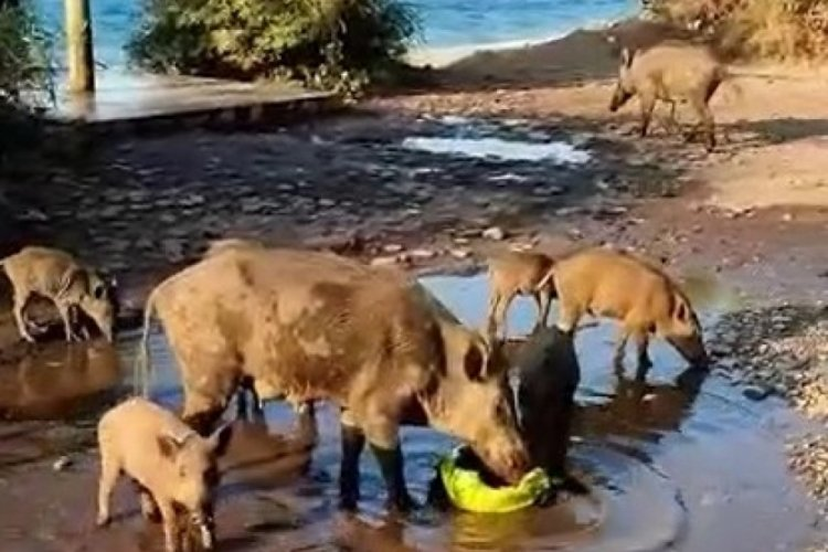 Bursa Mudanya'da aç kalan domuzlar sahile indi