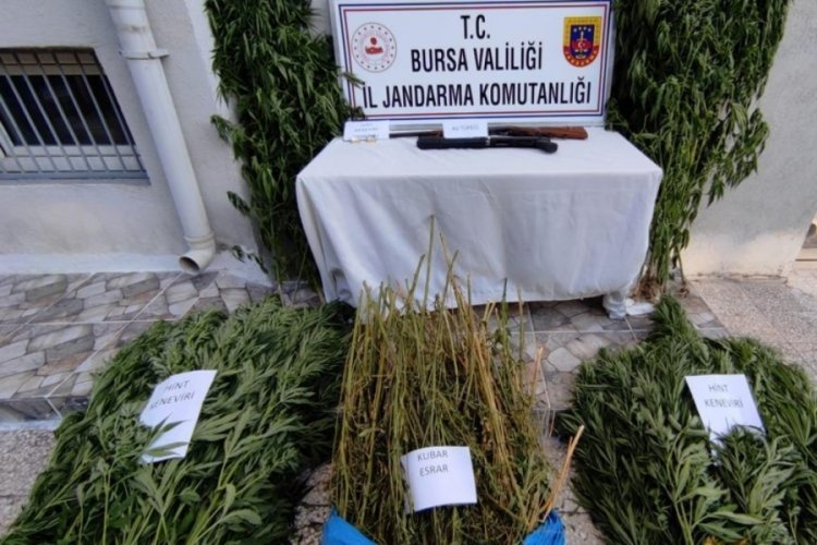 Bursa'da jandarmadan uyuşturucu tarlasına baskın