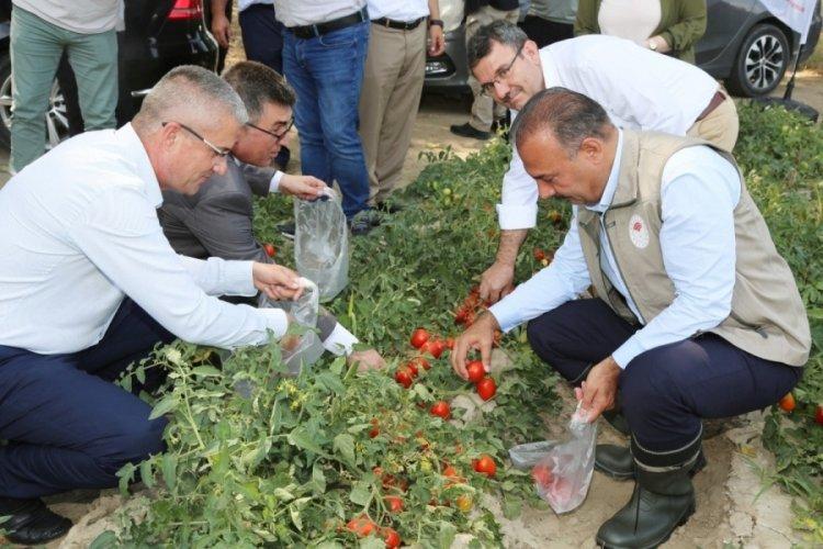 Bursa'da domates hasadında salça fabrikalarına çağrı