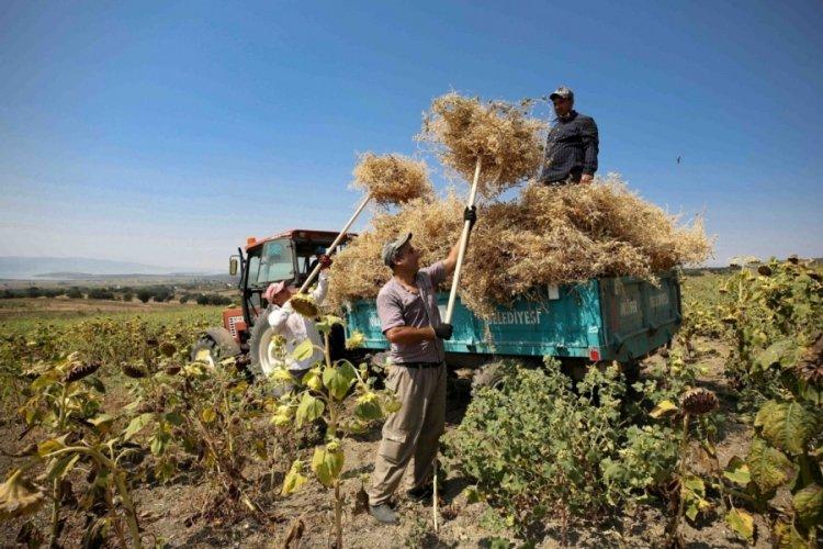 Bursa'da yerli tohumdan doğal nohutlar hasat edildi