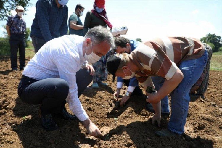 Bursa İnegöl'de ekinezya ilk hasadı için gün sayıyor