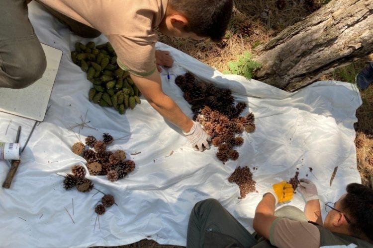 Bursa karaçam ormanlarında zengin tohum yılı