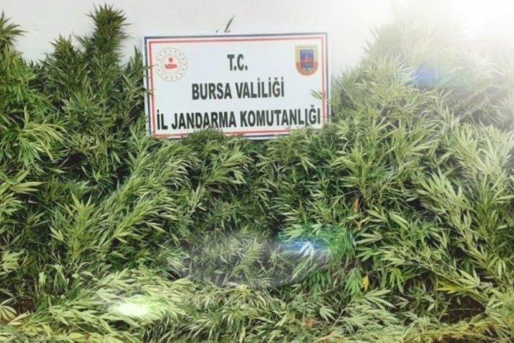 Bursa'da evin bahçesinde ekili 48 kök kenevir ele geçirildi