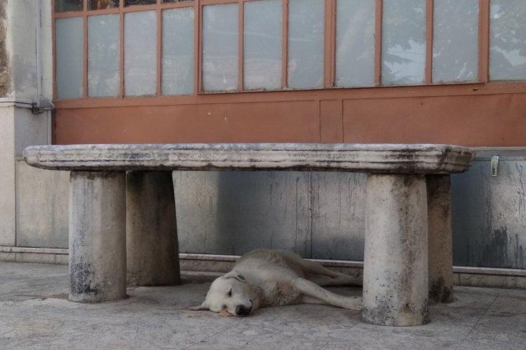 Bursa'da sıcaktan bunalan köpek musalla taşının altına yattı