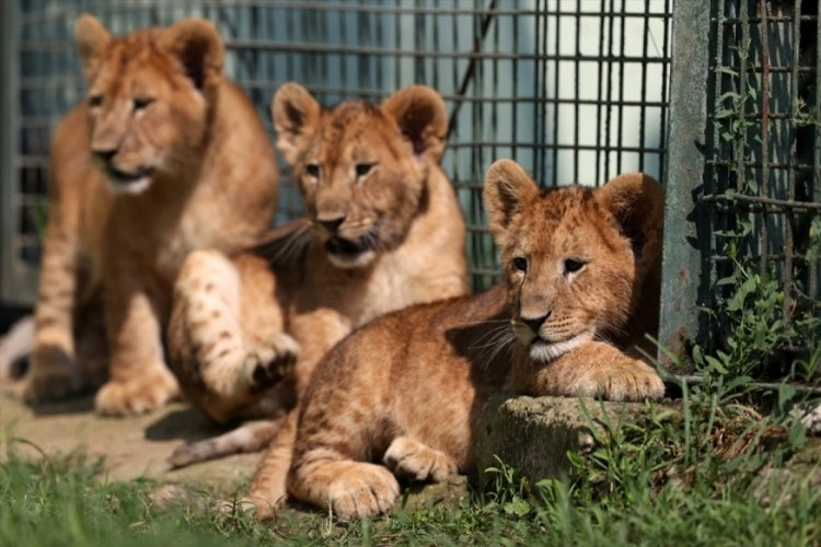Bursa Hayvanat Bahçesi'nde dünyaya gelen aslanlar yeni yuvalarına alıştı