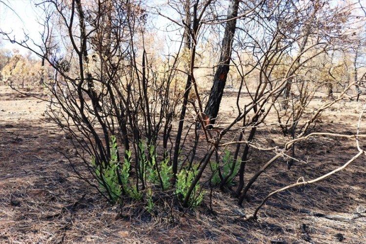 Kilis'te yanan ormanlık alan yeniden yeşilleniyor