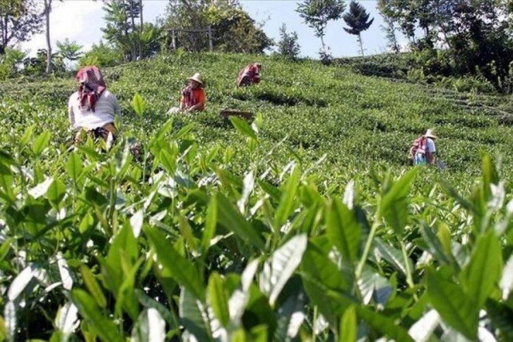 ÇAYKUR, temmuz ayı yaş çay bedeli ödemelerine başladı
