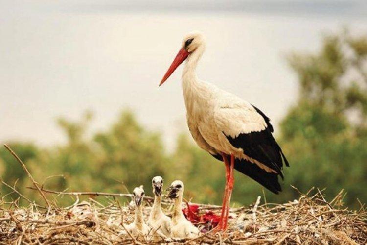 Bursa Uluabat Gölü'nün en ünlü misafiri Yaren'in yavrusu 5 numara Çad'da