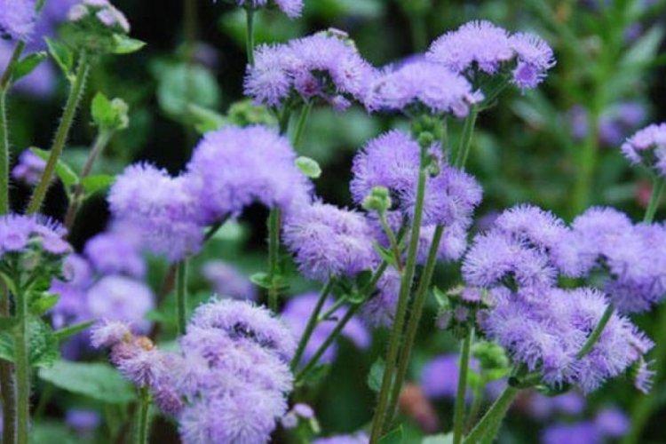 Vapur Dumanı çiçeği hikayesi nedir? Özellikleri nelerdir?