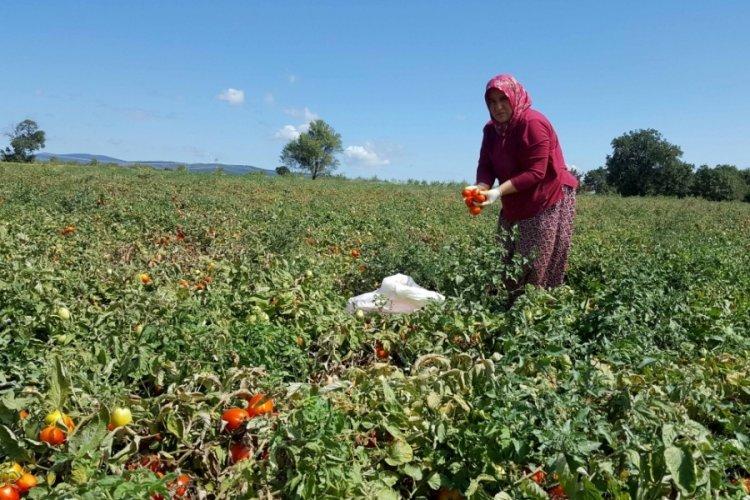 Bursa Karacabey'de salça kazanları kaynıyor