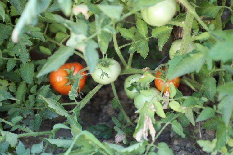 Bursa Gemlik'te organik tarım meyvelerini verdi