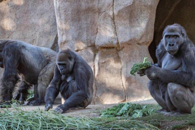 ABD'de 13 goril, koronavirüse yakalandı