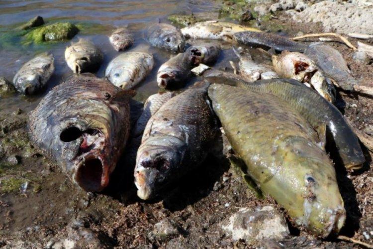 Van'da yüzlerce balığın kıyıya vurmasının nedeni ortaya çıktı