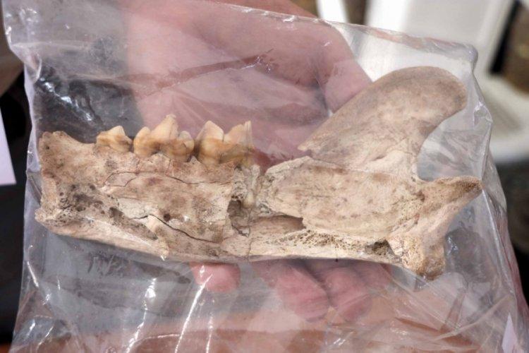 Kayseri'de kazı çalışmalarında 4 bin yıl öncesine ait aslan kemiği bulundu