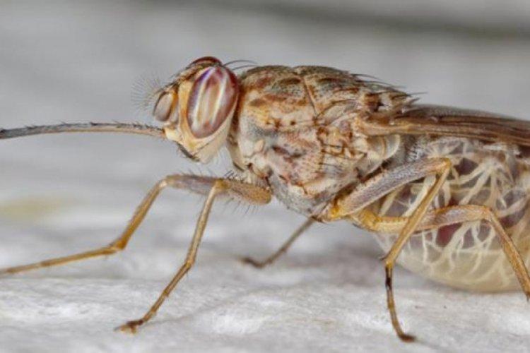 Baldırsokan sineği artık İstanbul'da