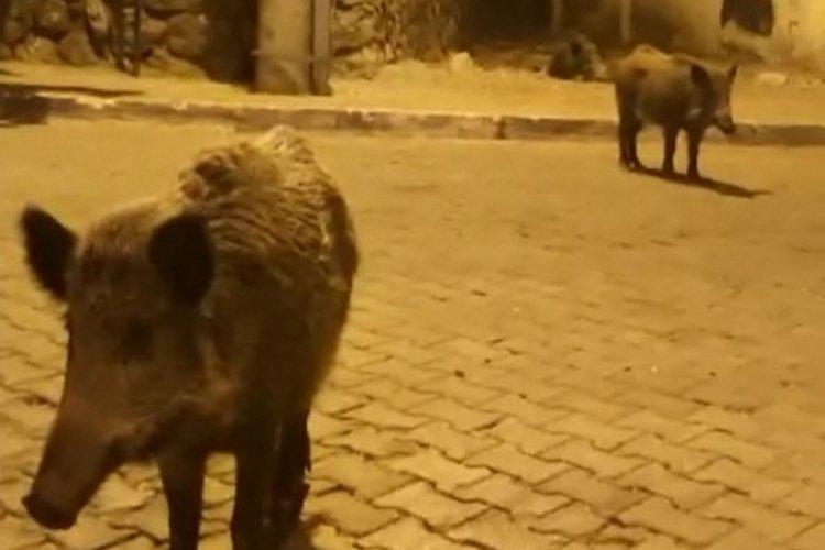 Videoya aldığı domuza 'birader ne var ne yok' diye seslendi