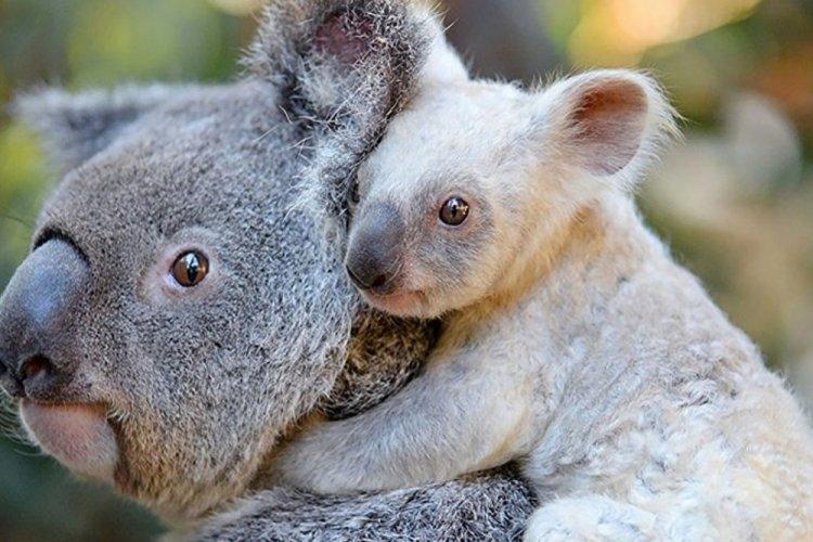 Avustralya'da koalaların üçte biri yok oldu