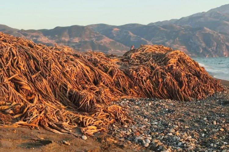 Hatay'da Samandağ sahilini istilacı su sümbülleri kapladı