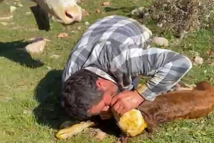 Tokat'ta nefessiz kalan buzağıyı suni teneffüsle hayata döndürdü