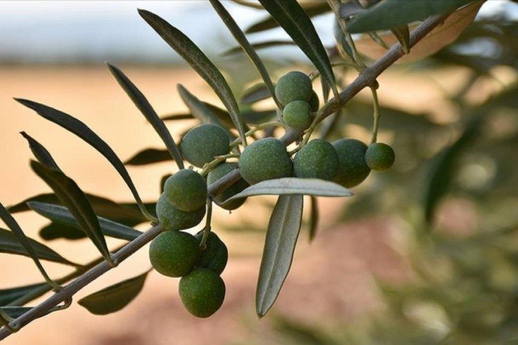 Zeytin ve zeytinyağına en fazla talep İspanya'dan geldi
