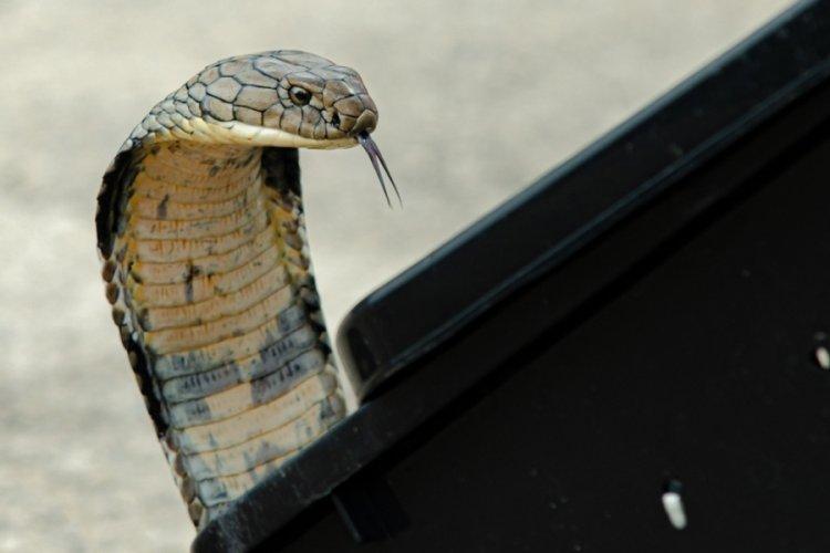 Hindistan, çıngıraklı yılandan kurtulan eşini öldürmek için kobra kiraladı