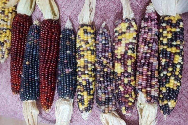 Sinop'ta renkli mısırlar büyük ilgi topladı