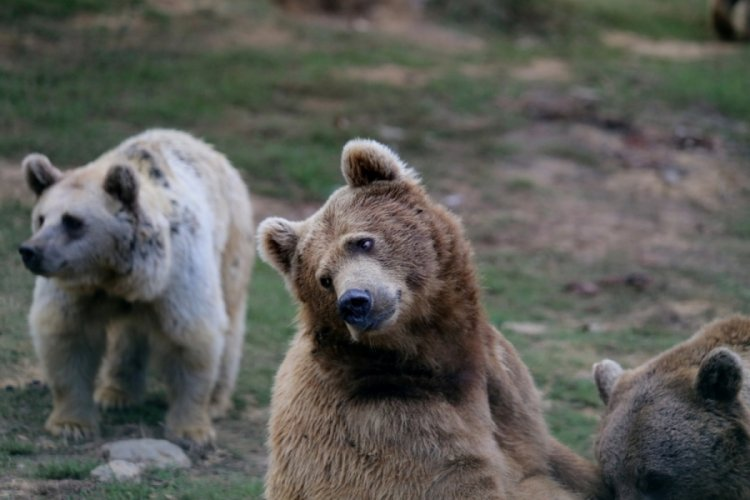 Bursa Ovakorusu'nda ayılar günde 400 kilogram yiyecekle kış uykusuna hazırlanıyor