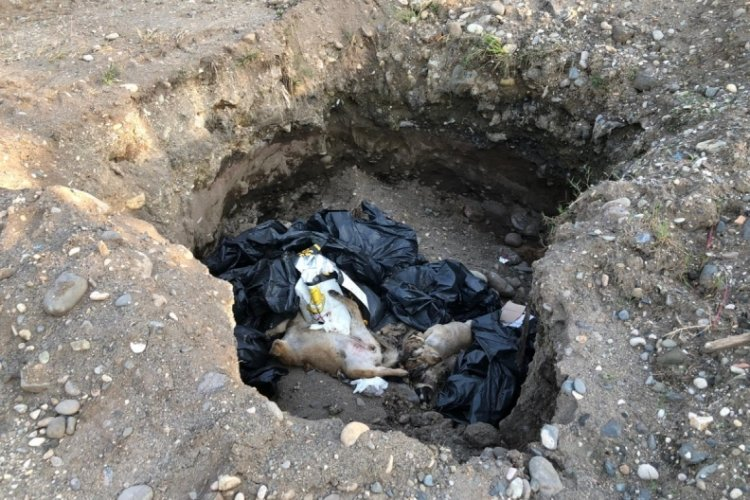Giresun'da çukurda ölü köpekler bulundu