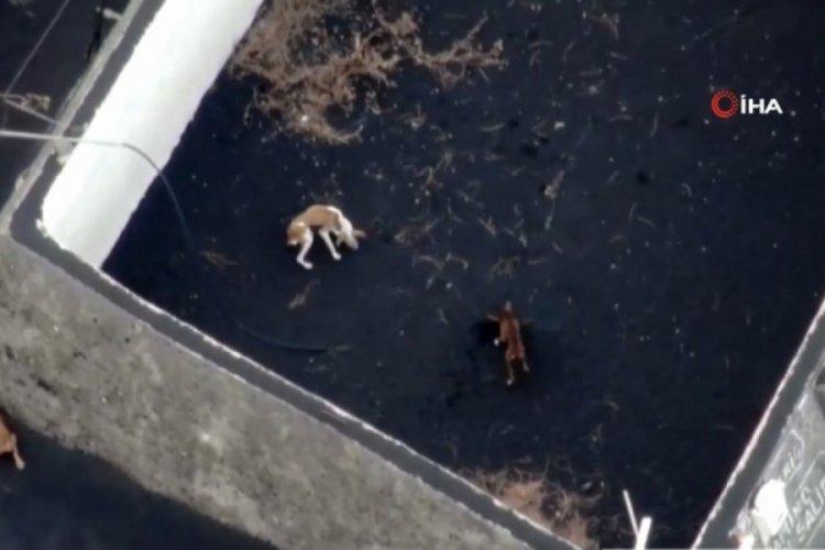 La Palma'da yanardağın rehin bıraktığı hayvanlara drone ile yardım ulaştırdı