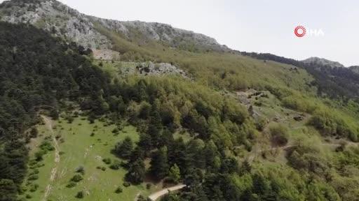 Bursa'da dağda kurbanlık dana avı