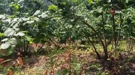 Domuzlardan korktu, ağaca tırmandı