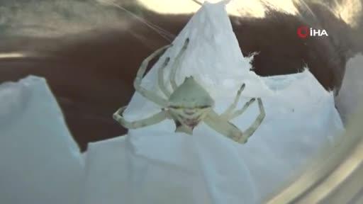 Bursa'da insan yüzlü örümcek görenleri hayrete düşürdü