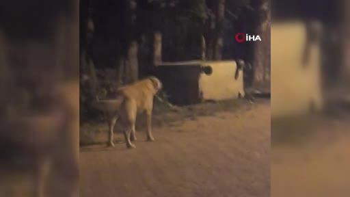 Bursa'da ayı ailesinin renkli görüntüleri: Köpeği kovaladılar