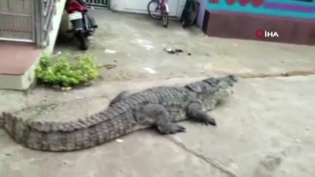 Sokakta gezinen dev timsah görenleri şaşırttı