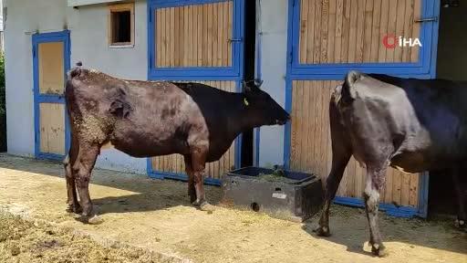 Bursa'da masaj yaparak büyüttüğü hayvanların kilosunu bin 200 dolardan satıyor