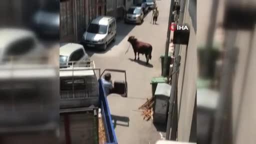 Bursa'da kaçan boğa adamı böyle yere serdi