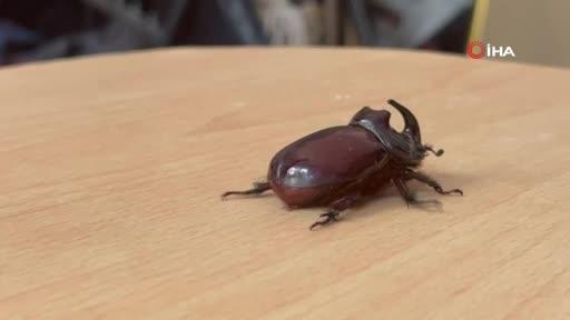 Bursa'da boynuzlu gergedan böceğine gözü gibi bakıyor