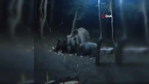 Bursa Uludağ'da aç kalan ayılar kamp alanına indi