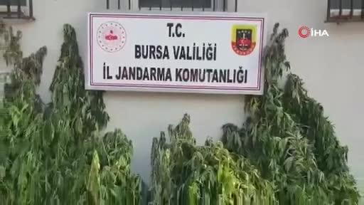 Bursa'da jandarmadan Hint kenevir operasyonu!